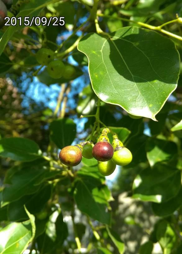 樟樹果實,fruits of Cinnamomum camphora, amphor tree, camphorwood or camphor laurel